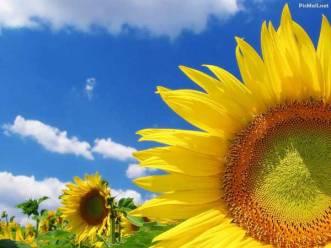 bunga matahari (1)